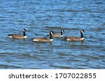 Four Canada Geese Swimming In...