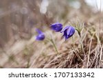 Beautiful Snowdrop Flower And...