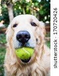 Dog Golden Retriever Outdoor