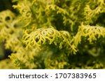 Hinoki Cypress Lucas   Latin...