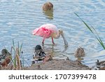 Roseate Spoonbill Searching For ...