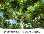 Green Canopy Of A Plane Tree...