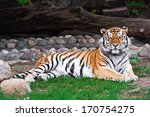 Wild And Agressive Bengal Tiger ...