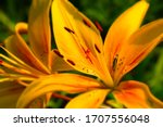 Bright Yellow Lily Flowers In A ...