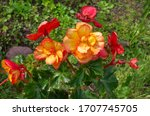 Begonia Red Yellow  Lat....