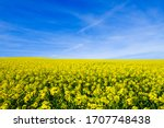 Field of rapeseed, canola or colza in central Germany near Alzey. Rapeseed is a plant for green energy and oil industry and famous for the Rhenish Hesse area.