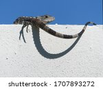 Small Long Tailed Lizard...