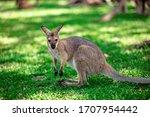Kangaroos And Wallabies At The...