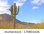 Постер, плакат: Saguaro Cacti Carnegiea gigantea