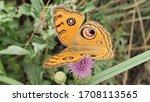 A Common Buckeye Butterfly Is...
