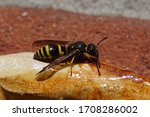 A Potter Wasp Of The Genus...