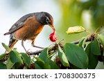 American Robin Feeding In A...