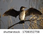Reed Cormorant South African...