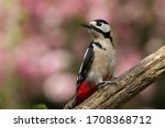 Great Spotted Woodpecker In...