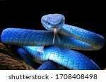 Small photo of Blue viper snake closeup face, head of viper snake, Blue insularis, Trimeresurus Insularis, animal closeup