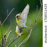 The Dickcissel Is A Small...