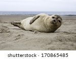 harbor seal at the beach of Helgoland