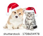 Cute corgi puppy and gray tabby ...
