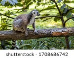 Little Funny Lemurs Play On Th...