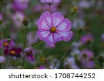 Cosmos flowers bloomed in a field of Uiwang city, Gyeonggi Province.