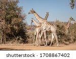 Herd Of Giraffe  Giraffa...