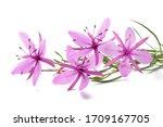 Pink Alpine Willowherb Flowers...