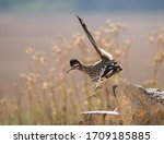 The Greater Roadrunner Is A...