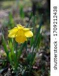 Daffodil Dutch Master Yellow  ...