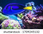 Pacific Blue Tang Fish Swimmin...