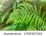 Green Fern In The Forest....