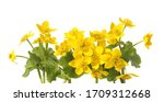 Marsh Marigold, Caltha Palustris isolated on white background. Wild yellow spring flowers growing in  marshes, fens, ditches and wet woodland.
