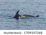 Common Bottlenose Dolphin Or...