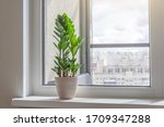 Green Zamioculcas Plant On The...