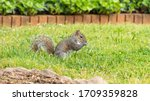The Little Grey Squirrel Here...