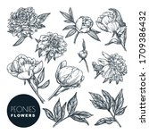 peonies flowers set  vector... | Shutterstock .eps vector #1709386432