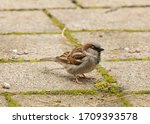 House Sparrow Standing On...