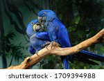 Pair Of Blue Hyacinth Macaw ...