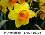 Yellow And Orange Jonquil...