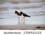 A Pair Of Pied Oystercatchers...
