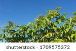 Australian Wattle Trees...