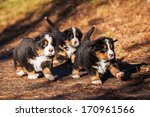 Bernese Mountain Puppies...