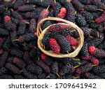 Mulberry In Viet Nam. Mulberry...