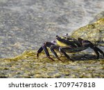 Swift Footed Rock Crab From Th...