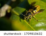 Macro Picture Of A Common Wasp...