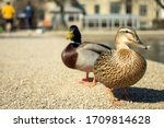 Two Ducks By The Copenhagen...