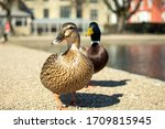 Two Ducks Near The Lakes Of...