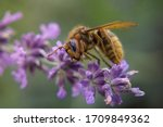 Detail of Yellow Honey Bee Collecting Pollen from Purple Lavender, Green Background - Close up Shot