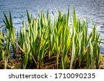 Fresh Green Reeds At A Fish Pond