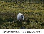 Sheep On The Fields Surroundin...