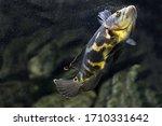Aquarium Fish. Cichlid...